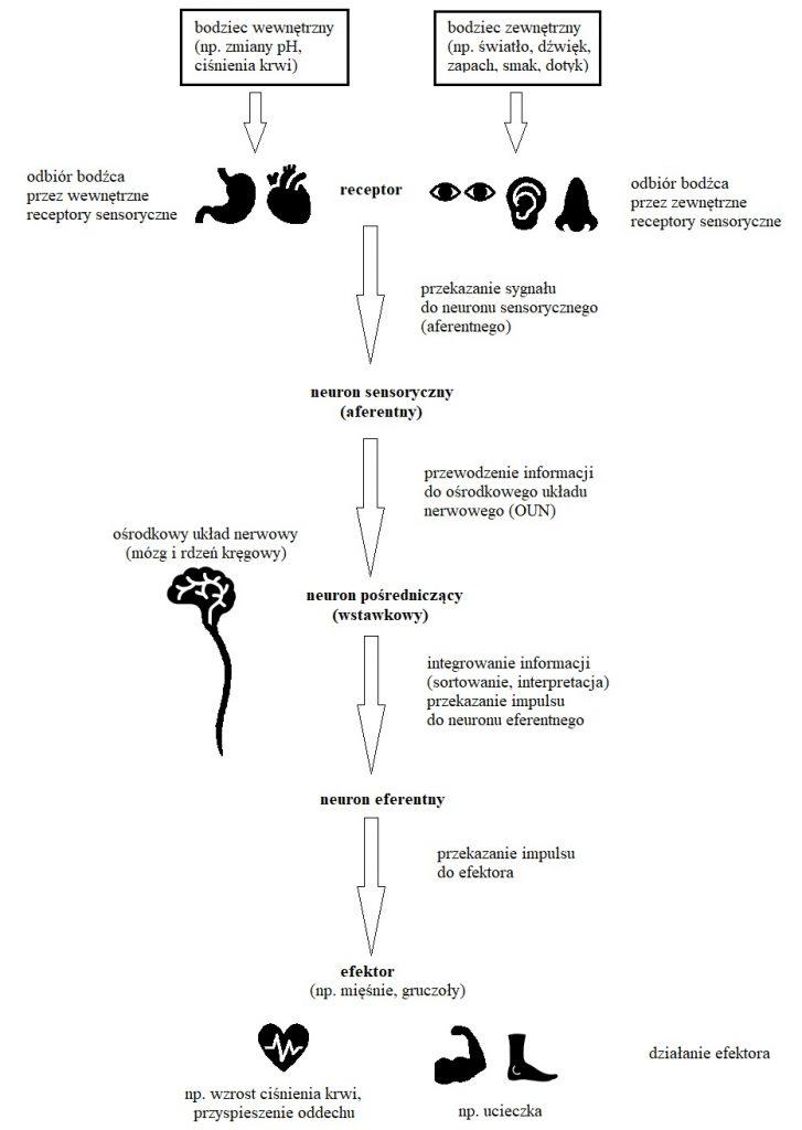 Schemat reakcji na bodźce
